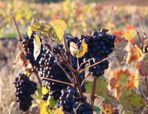 Notre producteur de vin: Le Père Manu dans le Beaujolais.
