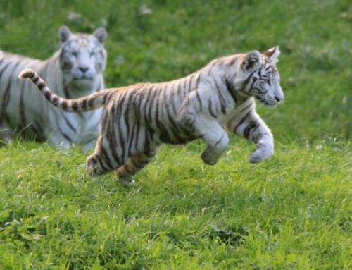 Le zoo de Cerza, les safaris en Normandie!