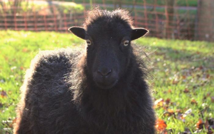 des moutons pour tondre au camping.